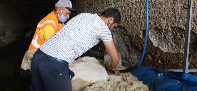 Talas Belediyesi yetiştiricilerin koyununu hem kırktı hem de yıkadı