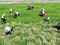 Kocasinan Belediyesi Erkilet'te 4'ncü hasadını yapmaya başladı