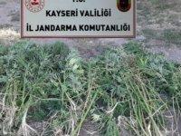 Melikgazi İlçesinde 236 kök kenevir bitkisi ele geçirildi