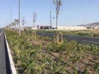 Büyükşehir Anbar ile Boğazköprü arasına 62 bin fidan dikti
