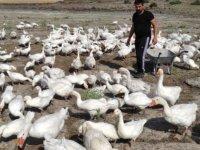 Ali Tuncer; Tomarza'da üretime dayalı kaz çiftliği kurdu