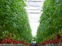 Kayseri Şeker'in topraksız domatesleri sofralarda yerini aldı