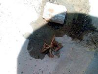 Et yiyen örümcek Kayseri'de görüldü