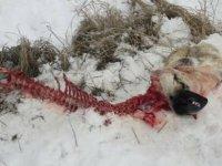 Aç kalan kurtlar, mahalleye inerek zincire bağlı köpeği yedi