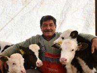 Kopçu Mahallesinde Besicinin 2 ineği ikiz buzağı doğurdu
