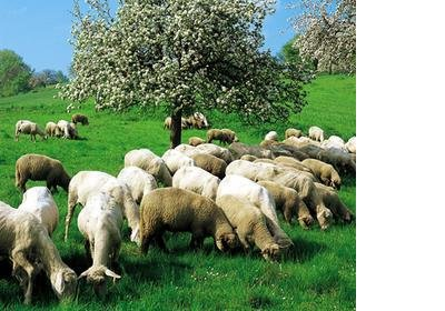 koyunlar.jpg
